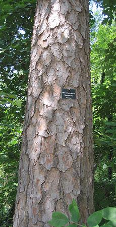 Short Leaf Pine