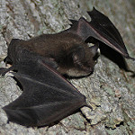 Little Brown Bat