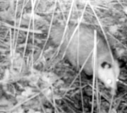 Virginia Oppossum